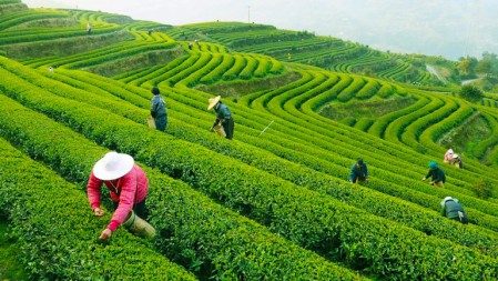 pick-longjing-tea-768